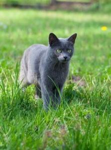 A grey cat with green eyes walking through grass.