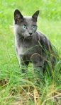 A Blue Cat. On grass.