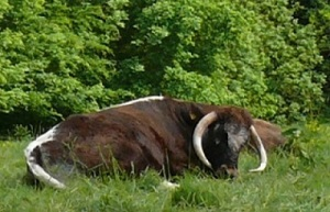 An English Longhorn Cow sitting in grass.