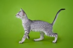 An eager spotted kitten walking, on a green colored background