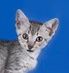 A curious spotted kitten against a blue background.