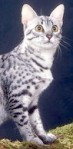 Spotted Cat_ copyright Fotolia_13455642