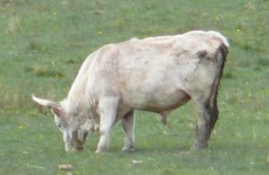 A white bull, grazing.