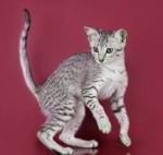 An alert spotted kitten on a red colored background