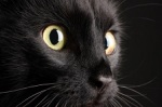 A Black cat on black background, looking watchful