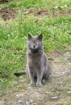 A blue cat sitting on a path.