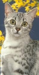 jeune chat mau égyptien