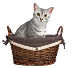 A defiant-looking cat in a wicker basket.