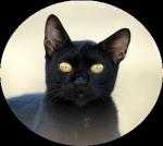 Portrait of a black cat - Nero