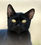 A Black Cat - Fotolia photo.