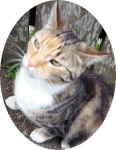 The mother of Purrsa and Purrsie. A pretty female cat, orange tabby and grey tabby with white chest, socks and underbelly