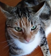 A prettily marked female cat with a red tabby face, grey tabby back, and white socks and underbelly. Looking cross.