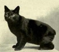 A black Manx cat