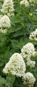 White Valerian Flowers