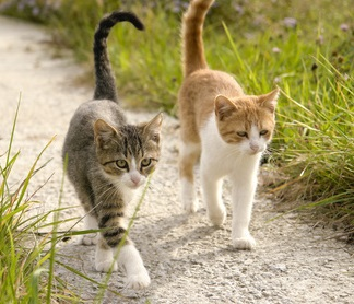 Two young cats, one tabby and white, the other ginger and white, with their tails held high walking together.