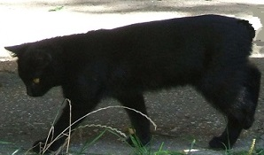 A tailless black cat walking by the shore