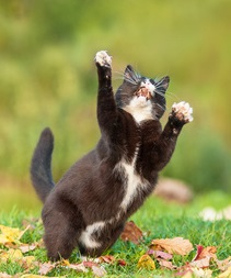 A black and white cat doing a happy dance