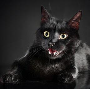 A black cat looking fierce