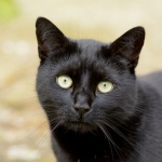 A black cat looking thoughtful.