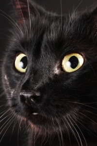 A close-up of a black cat