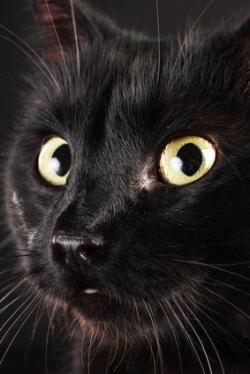 A close-up of a black cat