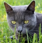 A blue cat, close-up in grass