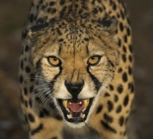A close-up of a threatening cheetah
