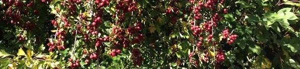 Dark red hawthorn berries, Autumn