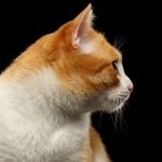 A ginger and white cat in profile.