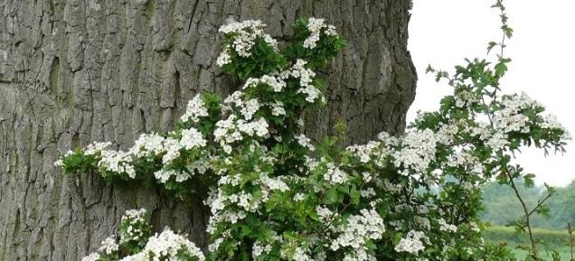 Flowering Hawthorn (Mayflowers) against a tree trunk in a misty landscape.