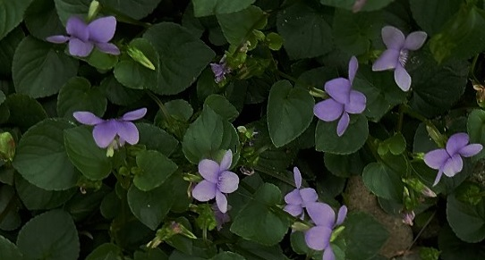 A bed of wild violets.