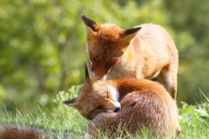 Two young foxes - one is snoozing, the other is preparing to nip its ear.