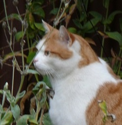A ginger and white cat.