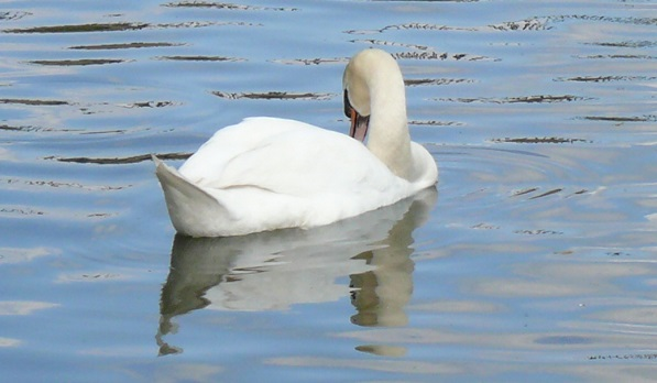A swan on a calm river.