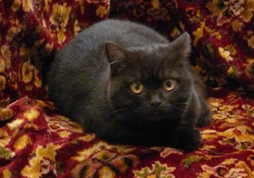 A dark brown cat seated on a carpet in shades of burgundy, green, and gold.