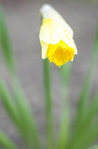 Wild daffodil flower blooming in early spring. Close up.