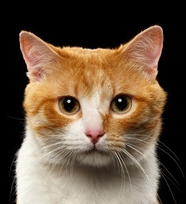 Closeup Portrait of ginger and white cat