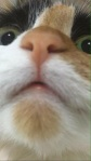 A close-up of the nose and squinting eyes of Gib's niece - a blacl, white, and orange cat.