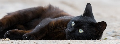 A rusty-furred black cat. lying on his side.