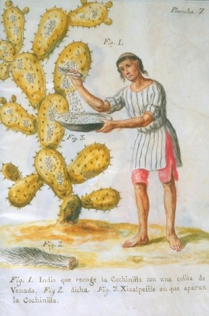 An 18th century watercoloured sketch of a a man brushing cochineal scale from a cactus.