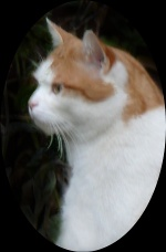 Head and shoulders portrait of a ginger and white cat.