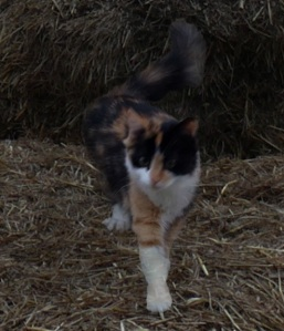 A black, white and orange cat walking across some hay.