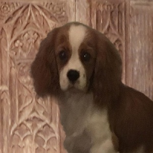 A head and shoulders portrait of a soulful looking young brown and white spaniel against a carved wooden chair back.