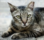 A lean grey tabby cat with an intense green stare and the tip of one ear missing.