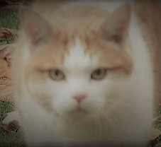 A plump, round-faced, ginger and white cat.