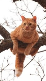 A large ginger catch perched precariously in a tree.