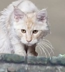A creamy coloured cat with grey-tipped fur.