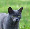 A thoughtful-looking blue-grey cat.