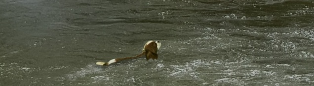 A brown and white spaniel in a river.