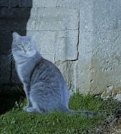 A silvery-grey tabby sitting by a stone wall.